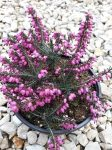 Erica carnea (Alpesi hanga)