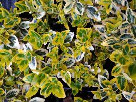 Euonymus fortunei 'Emerald Gold' (Sárga-tarka kecskerágó)