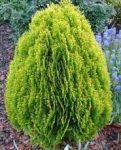 Thuja orientalis 'Aurea Nana' (arany,törpe keleti tuja)