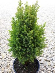 Chamaecyparis lawsoniana 'Ellwood s Gold' (Arany oregóni hamisciprus)