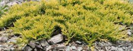 Juniperus horizontalis 'Golden Carpet' (arany terülőboróka)