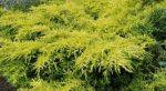 Juniperus x media 'Gold Star' (arany terülőboróka)