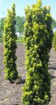 Taxus baccata 'Fast. Aurea' (Arany tiszafa)