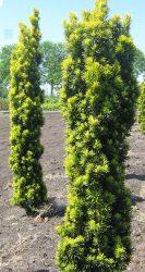 Taxus baccata 'Fastigiata Aurea' (Arany oszlopos tiszafa)