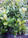 Prunus laurocerassus 'Baumgartner' (Baumgartner babérmeggy)