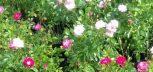 Rózsa,leander