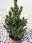 Picea glauca 'Conica'(Cukorsüvegfenyő)