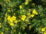 Potentilla fruticosa 'Goldfinger' (cserjés pimpó)