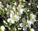 Chaenomeles speciosa'Nivalis' (Fehér virágú japánbirs)