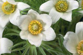 Pulsatilla Pinwheel White (fehér kökörcsin)