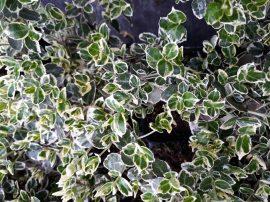Euonymus fortunei 'Emerald Gaiety' (Fehér tarka kecskerágó)