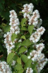 Deutzia scabra (Érdeslevelű gyöngyvirágcserje)