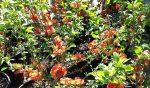 Chaenomeles japonica (japánbirs)