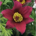 Pulsatilla vulgaris Pinwheel Dark Red Shades (bordó kökörcsin)
