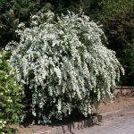 Spiraea x vanhouttei (Kerti gyöngyvessző)