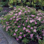Spiraea japonica 'Little Princces' (Kishercegnő gyöngyvessző)