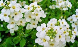 Arabis caucasica Little Treasure 'White' (Kaukázusi ikravirág)