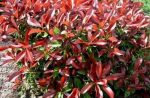 Photinia X fraseri 'Magical Volkano' (Kerti korallberkenye)
