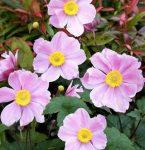 Anemone Pink Saucer (kerti szellőrózsa)
