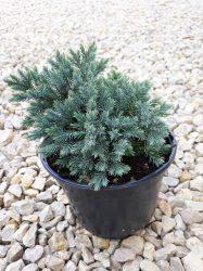 Juniperus squamata'Blue Star' (Kék, törpe himalájai boróka)