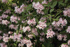 Kolkwitzia amabilis (Kínai viráglonc)