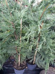 Cupressocyparis leylandii (Leylandii ciprus)