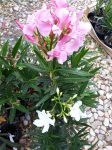 Nerium oleander (Leander)