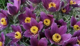 Pulsatilla Pinwheel'Blue Violet'(lila kökörcsin)