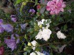 Hibiscus syriacus (mályvacserje)