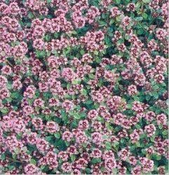 Thymus serpyllum'Purpurviolett'(Vad kakukkfű)