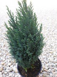 Chamaecyparis lawsoniana 'Ellwoodii' (Oregoni hamisciprus)