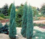 Juniperus Virginiana 'Blue Arrow' (Kék oszlopos oregoni boróka)