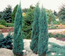 Juniperus Virginiana 'Blue Arrow' (Kék oszlopos oregoni boróka)