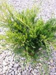 Juniperus x media Old Gold (Óarany terülő boróka)