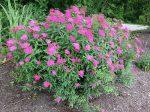 Spiraea bumalda 'Anthony Waterer' (Pompás gyöngyvessző)