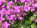 Arabis Blepharophylla 'Frühlingszauber'(Rózsaszín ikravirág)
