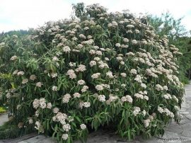 Viburnum rhytidophyllum (Ráncoslevelű bangita)
