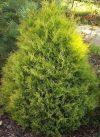 Thuja occidentalis 'Rheingold' (Rheingold nyugati tuja)