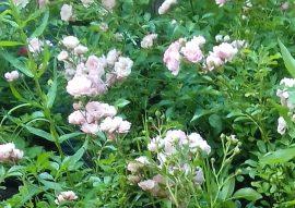 Rosa The Fairy (Rózsaszín talajtakaró rózsa)