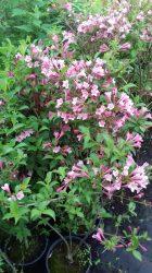Weigela florida (Kínai rózsalonc)