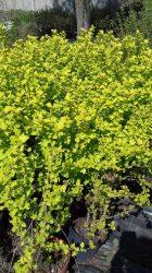 Physocarpus opulifolius'Luteus' (Sárgalombú hólyagvessző)