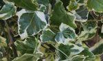Hedera helix  (Fehér-tarka levelű borostyán)