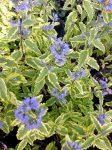 Caryopteris x clandodensis 'Summer Sorbet'(Sárga.tarka levelű kékszakáll)