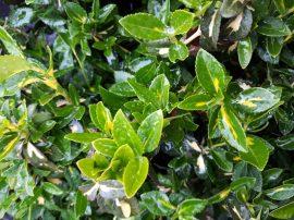 Euonymus fortunei 'Sunspot' (Sárga-tarka kecskerágó)