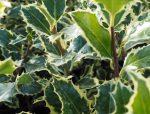 Ilex aquifolium Silver Queen' (ezüst királynő magyal)