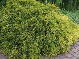 Chamaecyparis pisifera 'Filifera Aurea Nana' (Törpe arany szavára hamisciprus)