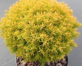 Thuja occidentalis 'Anniek'( törpe,arany nyugati gömb tuja)