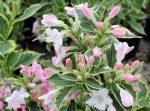 Weigela florida 'Variegata' (Tarkalevelű rózsalonc)