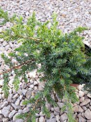 Juniperus conferta 'Sláger'(Terülő boróka)