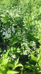 Deutzia gracilis 'Nikko' (Törpe gyöngyvirágcserje)